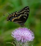 Swallowtail het Drinken Nectar stock afbeelding