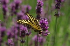 Swallowtail i lavendel Royaltyfri Foto