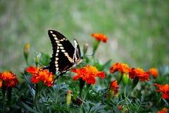 Swallowtail II Foto de archivo libre de regalías