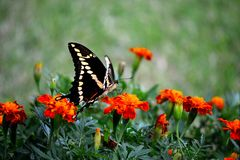 Swallowtail II royalty-vrije stock foto