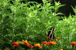 Swallowtail IIII stock foto