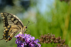 Swallowtail large view Royalty Free Stock Photo