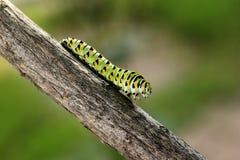 Swallowtail larv Arkivfoton