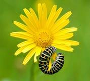 Swallowtail larv med blomman arkivfoto