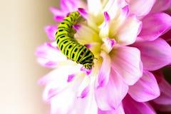 Swallowtail larv på en rosa dahlia Arkivfoto