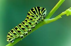 Swallowtail larva stock image