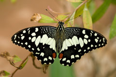 Swallowtail lemon butterfly (papilio demoleus) Royalty Free Stock Image