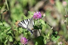 Swallowtail limitato immagini stock