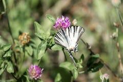 Swallowtail limitato fotografie stock libere da diritti
