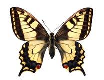 Swallowtail (machaon de Papilio) Fotografia de Stock