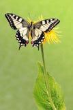Swallowtail (machaon de Papilio) imagem de stock royalty free