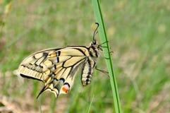 Swallowtail, machaon de Papilio Imagenes de archivo