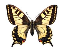 Swallowtail (machaon di Papilio) fotografia stock