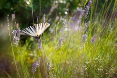 Swallowtail & x28; Machaon& x29 Papilio; на лаванде Стоковые Изображения RF