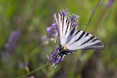 Swallowtail & x28; Machaon& x29 Papilio; на лаванде Стоковое Фото