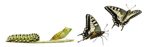 Swallowtail metamorphosis Stock Photo
