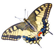 Swallowtail motyl Obrazy Royalty Free