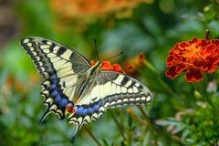 Swallowtail motyl Zdjęcia Royalty Free