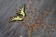 Swallowtail motyl, gatunek ochrona obraz royalty free