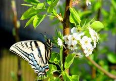 Swallowtail motyl gnieżdżący się na grupowaniu bonkreta kwitnie, próbujący karmić na nektarze fotografia stock