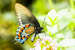 Swallowtail motyl, kobieta, zakończenie w górę makro- strzału Zdjęcie Stock