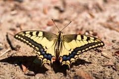Swallowtail motyl lub Papilio machaon zakończenie zdjęcia stock