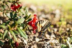 Swallowtail motyl na azalia kwiacie fotografia royalty free