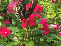 Swallowtail motyl na gorących menchii kwiatach Fotografia Royalty Free