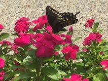 Swallowtail motyl na gorących menchii kwiatach Zdjęcia Royalty Free