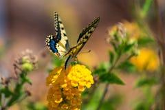 Swallowtail motyl na kwiacie z zielonym tłem fotografia stock