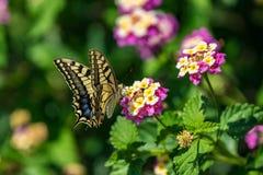 Swallowtail motyl na kwiacie z zielonym tłem zdjęcie royalty free