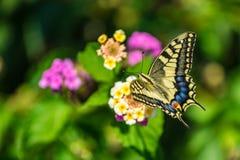 Swallowtail motyl na kwiacie z zielonym tłem obraz royalty free
