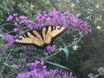 Swallowtail motyl na Motylim krzaku Zdjęcie Stock
