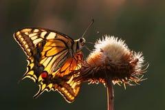 Swallowtail motyl na osecie Zdjęcie Royalty Free