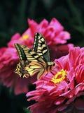 Swallowtail motyl na różowych cyniach obrazy stock