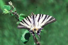 Swallowtail motyl na sprig stary swallowtail świat Papilio machaon Fotografia Royalty Free