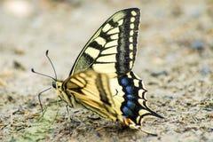 Swallowtail motyl, Papilio machaon zdjęcie stock