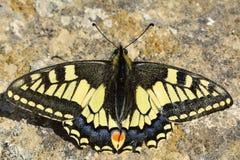 Swallowtail motyl przy odpoczynkiem na ziemi (Papilio machaon) Fotografia Stock