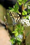 Swallowtail motyl siedzi na gałąź kwiatonośny drzewo znajdować nektar obraz royalty free
