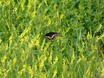 Swallowtail motyl Wśród Złotych Rod świrzep obraz stock