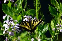 Swallowtail motyl w ogr?dzie zdjęcie royalty free