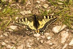 Swallowtail motyl w wiośnie obrazy royalty free