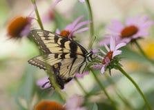 Swallowtail motyl z Szyszkowymi kwiatami w ruchu, Zdjęcia Royalty Free