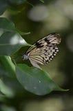 Swallowtail motyl Znać jako Drzewna boginka na liściu Zdjęcie Royalty Free