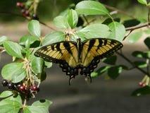 swallowtail motyla Fotografia Stock