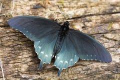 swallowtail motyla Zdjęcie Royalty Free