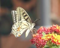 swallowtail motyla zdjęcia royalty free