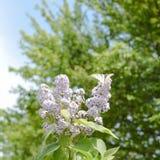 swallowtail motyla Motylia biała żaglówka na kwiatach bez Zdjęcia Stock