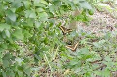Swallowtail motyle W locie zdjęcia royalty free