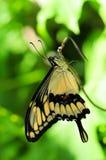swallowtail motyli gigantyczny vertical Obrazy Stock